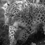 Terse Leopard